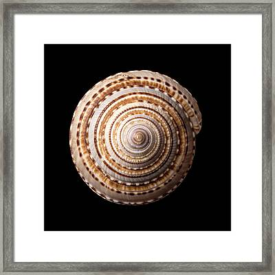 Sea Shell Known As Staircase Or Sundial Framed Print