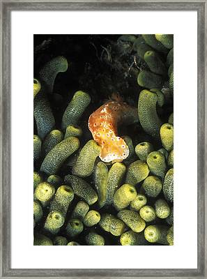 Sea Slug Nudibranch Crawling Framed Print by James Forte