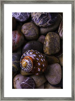 Sea Snail Shell On Rocks Framed Print by Garry Gay