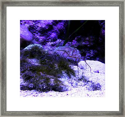 Framed Print featuring the photograph Sea Spider by Francesca Mackenney