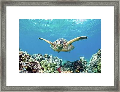 Sea Turtle Maui Framed Print by M.M. Sweet