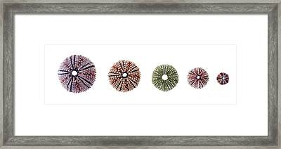 Sea Urchins Of Various Sizes Framed Print