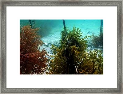 Sea Weed Farming Plantation And Harvesting In The Island Of Zanzibar Framed Print by Navin Joshi