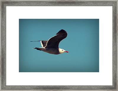 Seagull Aflight Framed Print