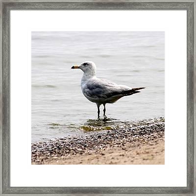 Seagull At Durand Framed Print