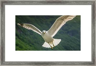 Seagull At The Fjord Framed Print
