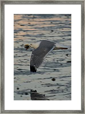Seagull Cracking Open A Clam Framed Print by Gene Sizemore