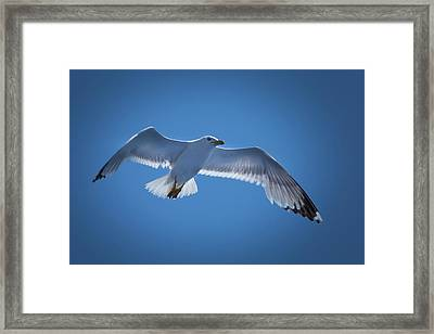 Framed Print featuring the photograph Seagull by Davor Zerjav