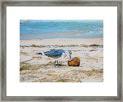 Seagull Eating From A Coconut On The Beach Framed Print by Rick Grossman