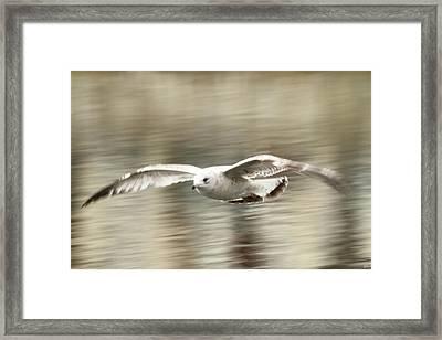 Seagull Glide Framed Print by Karol Livote