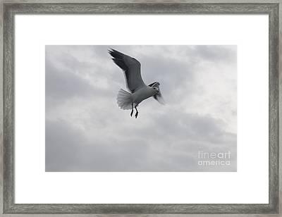 Seagull Hovering Overhead Framed Print by John Telfer