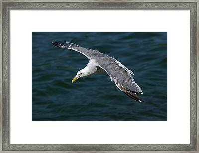 Seagull  In Flight Framed Print by Randall Ingalls