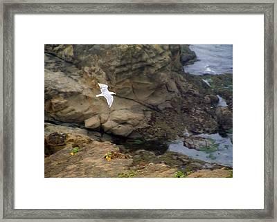 Seagull In Flight Framed Print by Steve Ohlsen