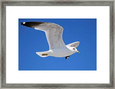 Seagull Framed Print by Ludwig Keck