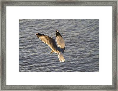 Seagull Over Cape Fear River Framed Print