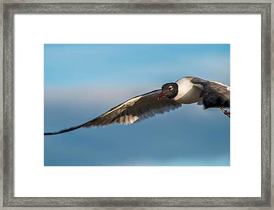 Seagull Portrait In Flight Framed Print