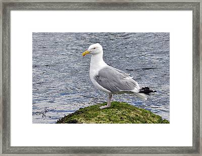 Framed Print featuring the photograph Seagull Posing by Glenn Gordon