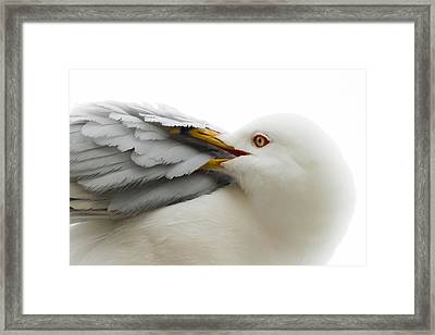 Seagull Pruning His Feathers Framed Print by Keith Allen
