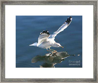 Seagull Reflection Framed Print by Rod Jellison