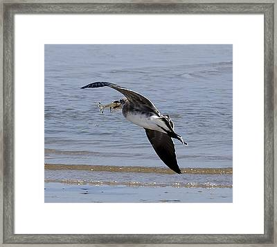 Seagull With Shrimp Framed Print