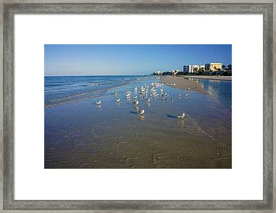 Seagulls And Terns On The Beach In Naples, Fl Framed Print