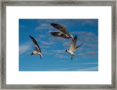 Seagulls In Flight Framed Print