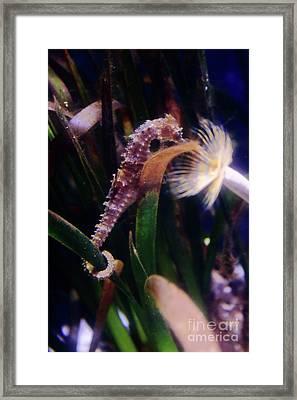 Seahorse Framed Print by Ana Mireles