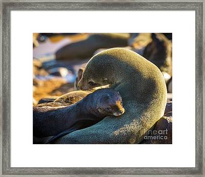 Seal Mom And Pup Framed Print