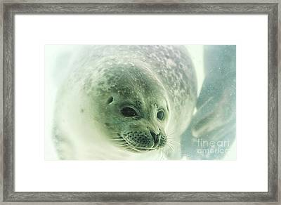 Seal Underwater In Close Up Framed Print