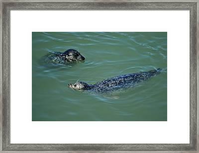 Sealion Friends Framed Print