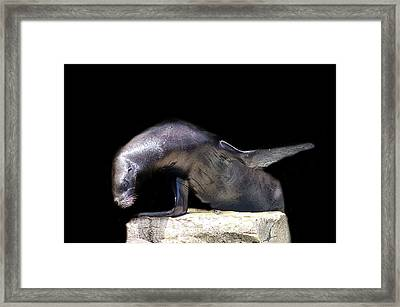 Sealion Wave Framed Print by Martin Newman