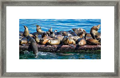 Sealions On A Floating Dock Another View Framed Print