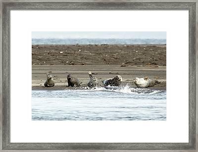 Seals Of Hvitserkur Framed Print by Betsy Knapp