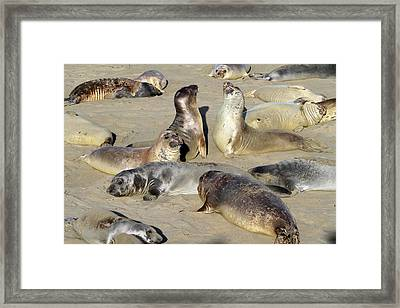 Seals On The Beach Framed Print by Donna Kennedy