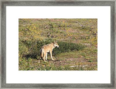 Searching Wolf Framed Print by David Wilkinson