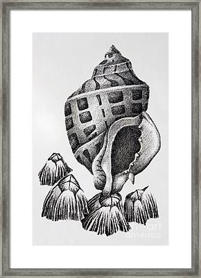 Seashell And Barnacles Framed Print by James Williamson