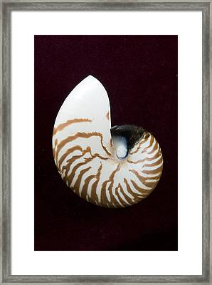 Seashell On Black Background Framed Print