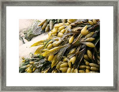 Seaweed Framed Print by Mary Haber