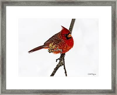 Second Cardinal Framed Print by Skip Tribby
