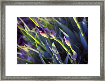 Second Iris Blooms 2015 Framed Print by Tina M Wenger