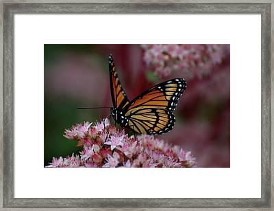 Sedum Butterfly Framed Print