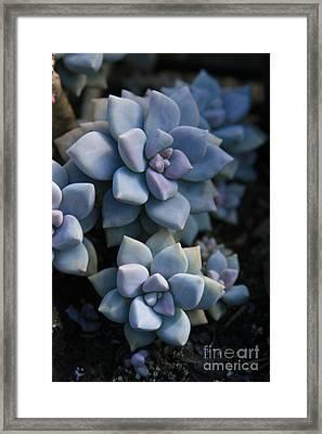 Sedum Clavatum Beautiful Cultivated Stonecrop Framed Print