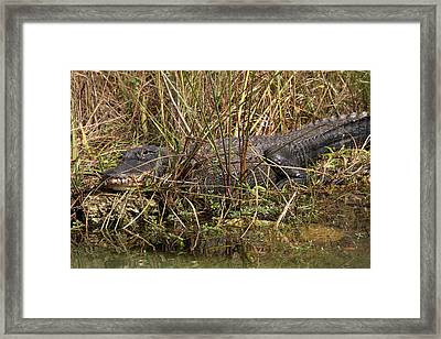 See You Later Alligator Framed Print by Juergen Roth