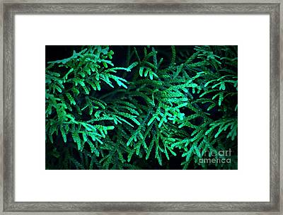 Seeing Thru The Evergreen Framed Print
