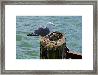 Seagull Family Framed Print