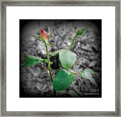 Selective Color Rose Bud Framed Print by Emily Kelley