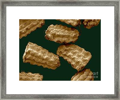 Sem Of Common Mullein Seeds Framed Print by Scimat