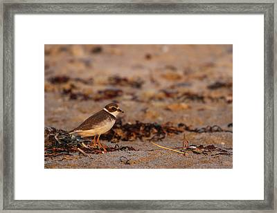 Framed Print featuring the photograph Semipalmated Plover by Juergen Roth