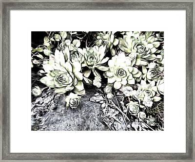 Sempervivum - Ebony And Ivory  Framed Print