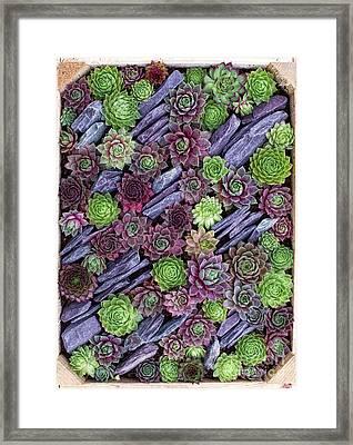 Sempervivums Pattern Framed Print by Tim Gainey